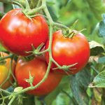 Kano State to partner investors to boost tomato production