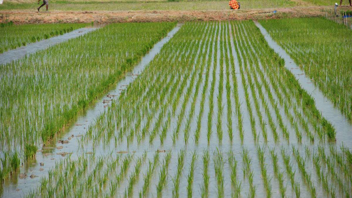 Our $1 billion investment in rice cultivation to boost self-sufficiency, says Dangote
