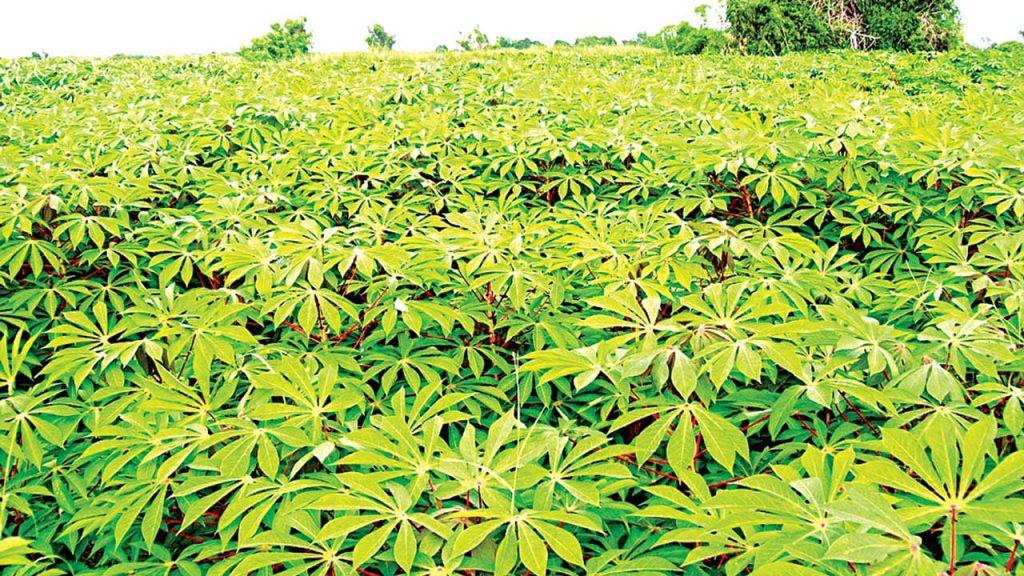 Expert tasks CBN on intervention to enhance cassava production