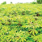 Expert tasks CBN on intervention to enhance cassava production