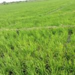 2 flood tolerant rice varieties released