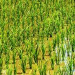 Osun government approves N377m loan for rice farmers
